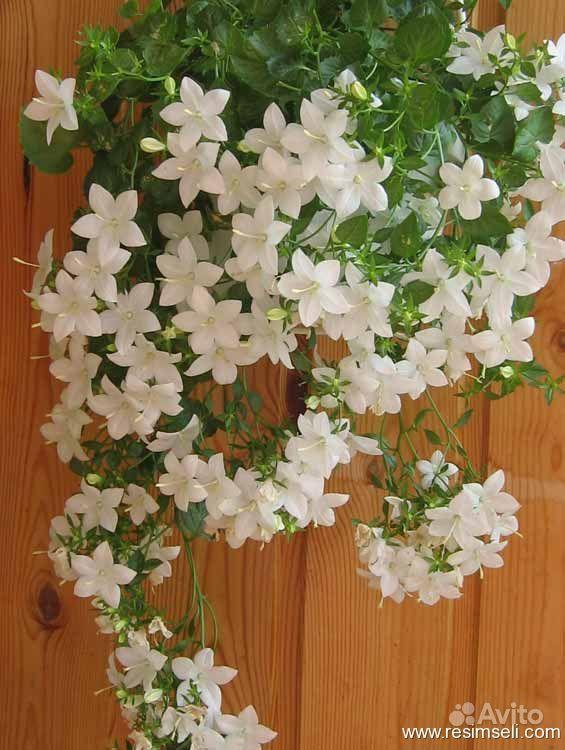 Висячие комнатные цветы