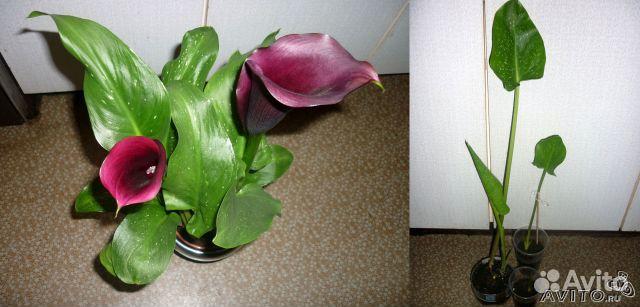 авито купить комнатное растение ижевск несмотря название, только