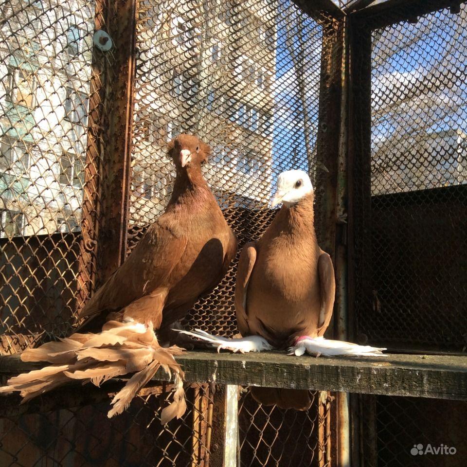 Продам голубей оптом