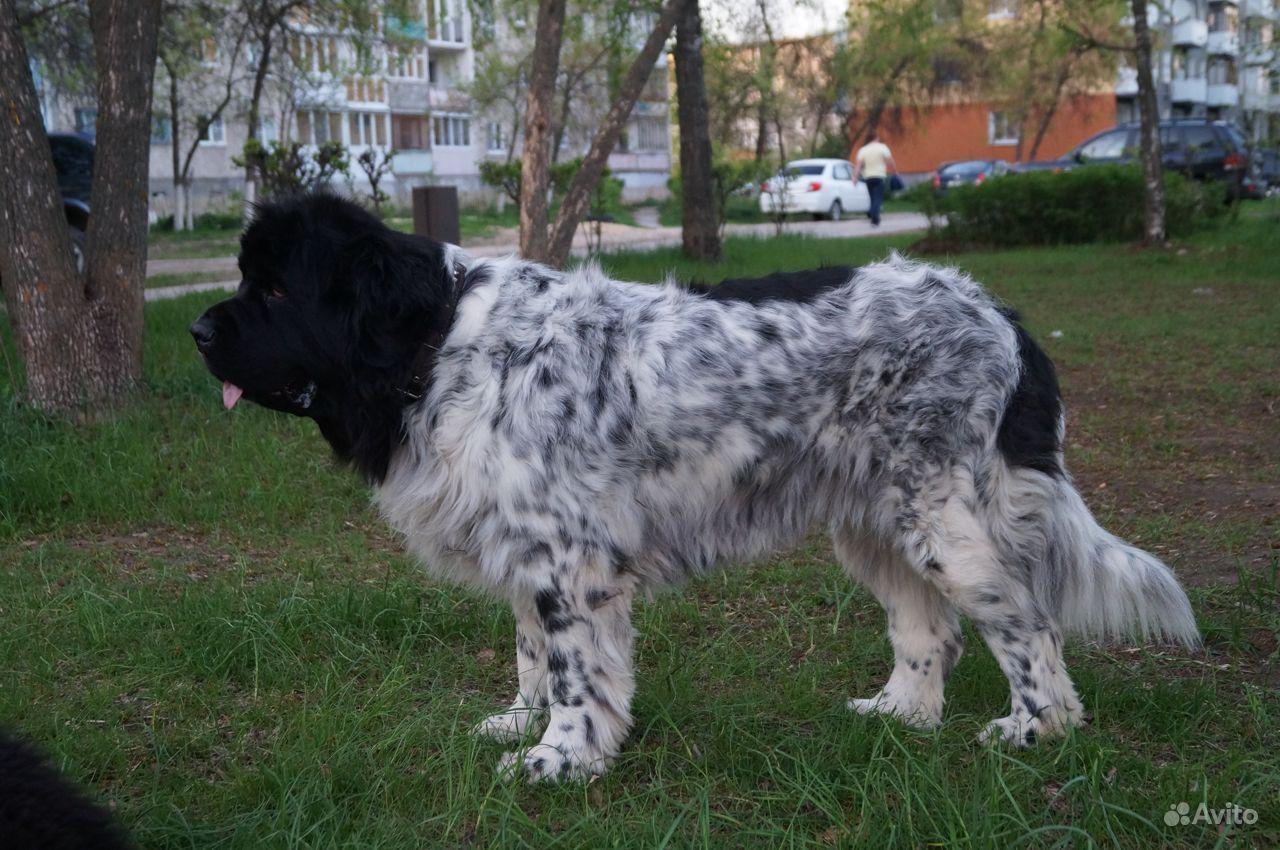 Продать щенка в Дзержинске - фотография № 3