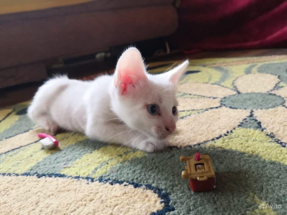 Шикарный белый кот с голубыми глазами