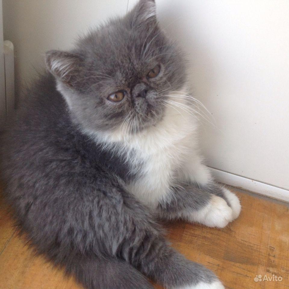 Экзотический короткошёрстный котик