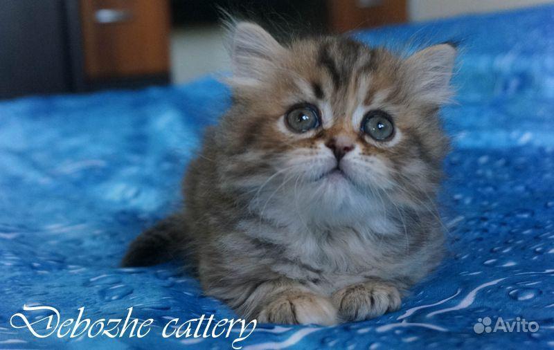 Шотландский котенок, девочка