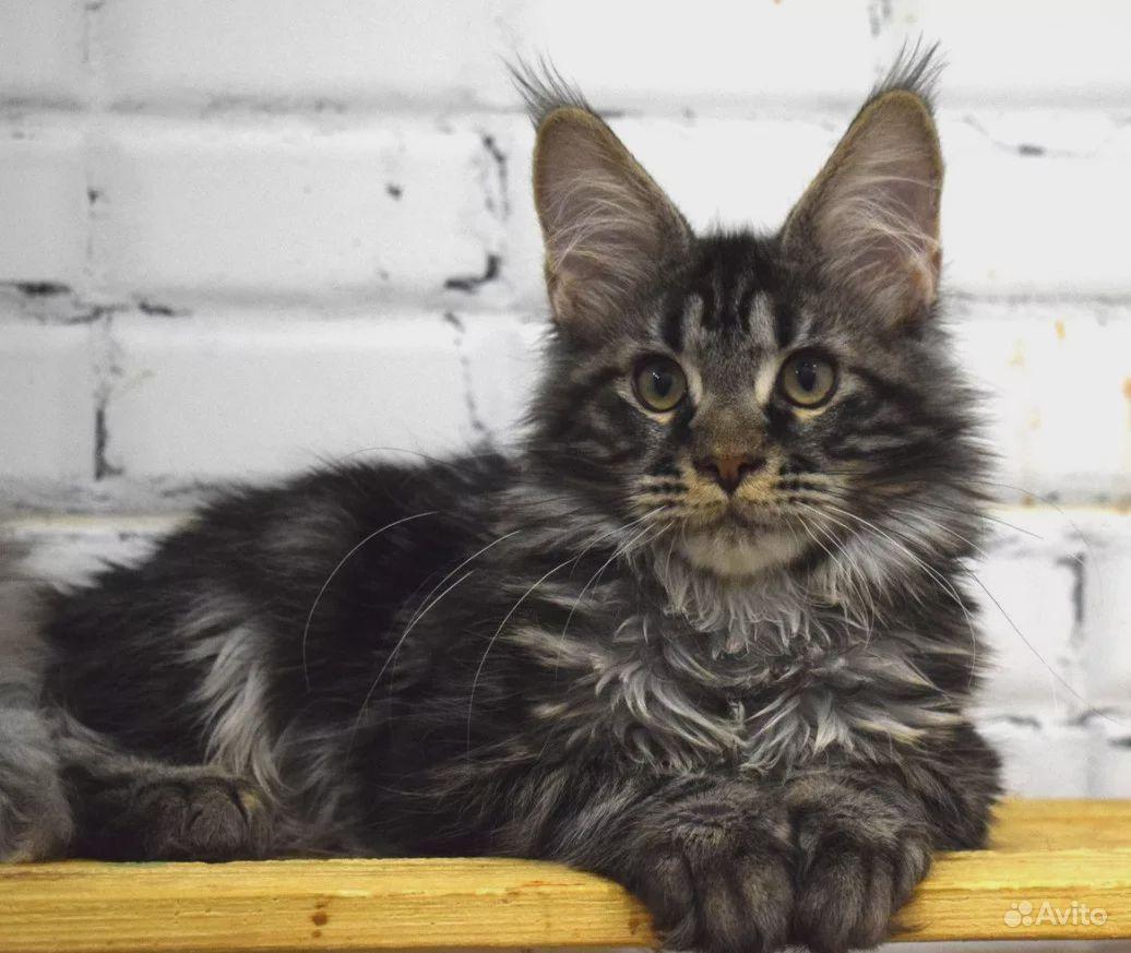 Кошечка мейн-кун в ответственные руки - фотография № 1