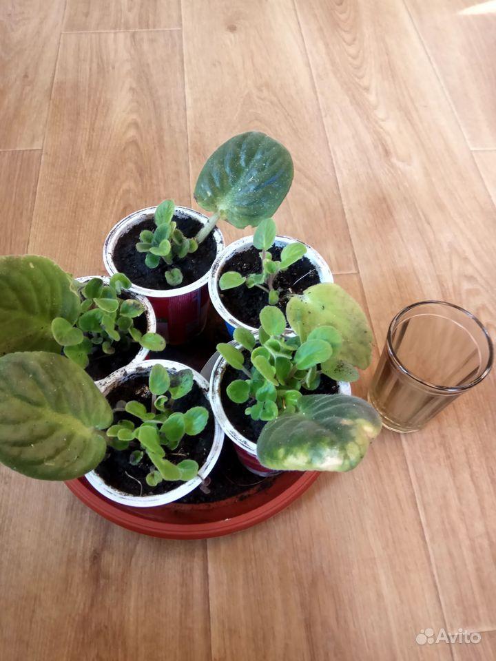 Комнатные растения - кливия и другие растения купить на Зозу.ру - фотография № 5