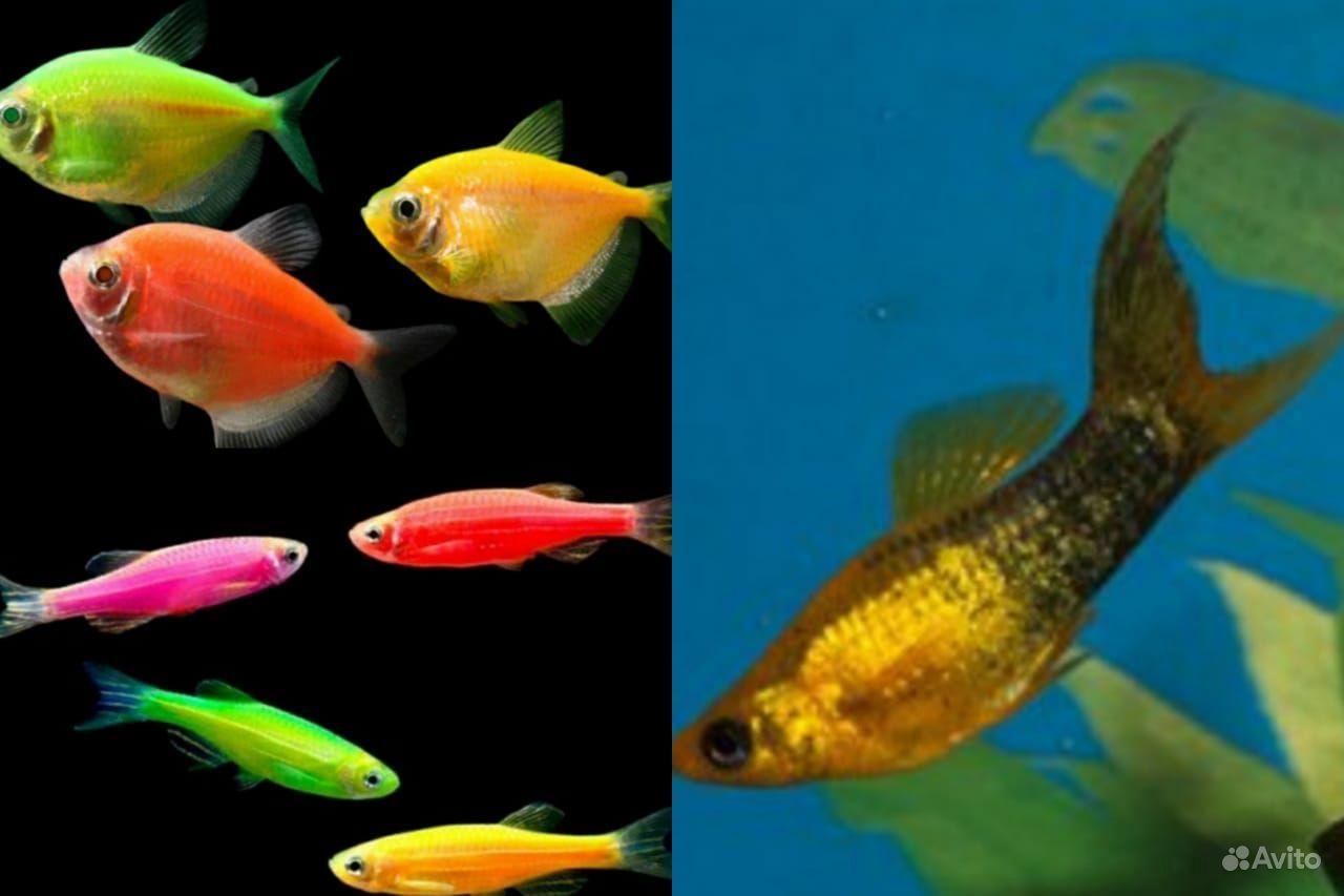 Аквариумные рыбки купить на Зозу.ру - фотография № 8
