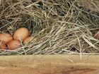 Домашние куриные яица