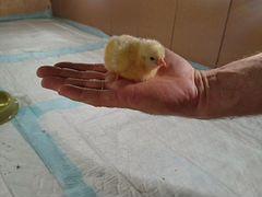 Цыплята яичных и мясо-яичных пород