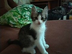 Котенок 2-3месяца, сибирский