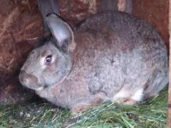 Крольчиха 11месяцев фландр