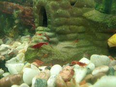 Креветка (вишневая) аквариумная