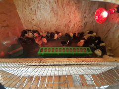 Цыплята Брамма