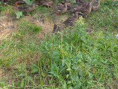 Подсадные дикие утки