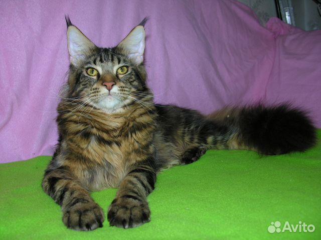 Тамбов вязка кота