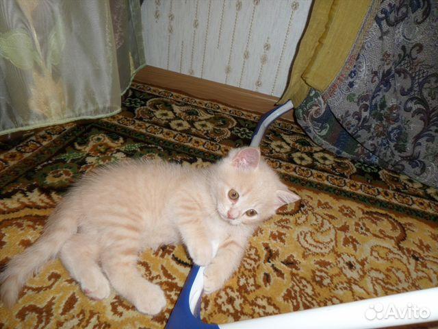 кремовый котенок фото