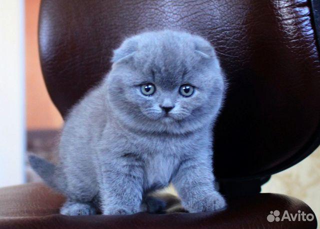Скоттиш фолд (шотландская вислоухая) кошка: фото, купить ...