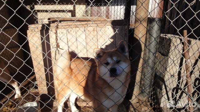 7adfb6ecc8db0 Взрослые собаки разных пород(щенки хасок) - купить, продать или ...