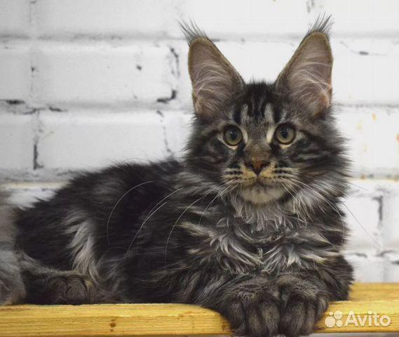 Кошечка мейн-кун в ответственные руки