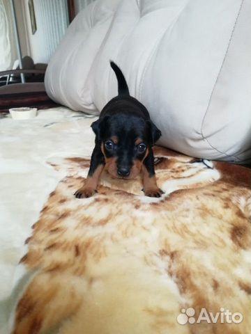 Милые щеночки цвергпинчера купить на Зозу.ру - фотография № 3