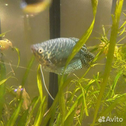 Рыбки Гурами  89529634426 купить 2