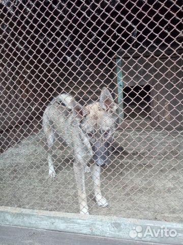 Продаются щенки западно сибирской лайки 89156783151 купить 4