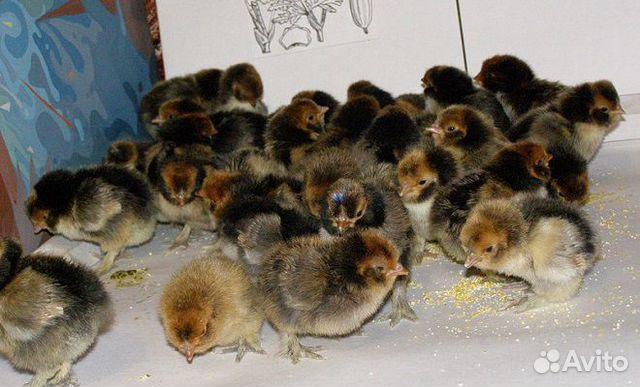 Цыплята  купить 1