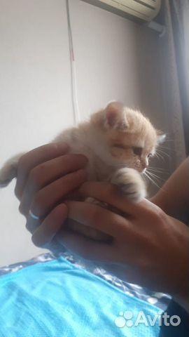 Британские котята с окрасом золотистая шиншила