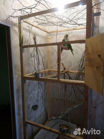 Александрийский попугай пара  89841477915 купить 2