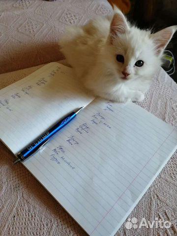 Котята мейн куны  89271841714 купить 3
