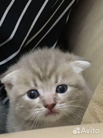Шотландский котенок  89898842157 купить 6
