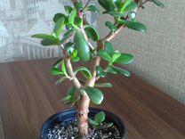 Толстянка Денежное дерево