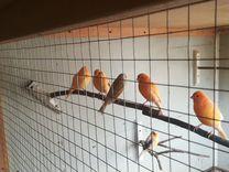 Кенара — Птицы в Москве