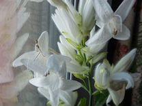 Комнатный цветок - Уайтфельдия