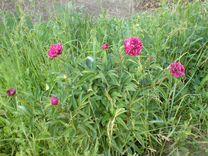 Цветок многолетний и пионы — Растения в Рязани