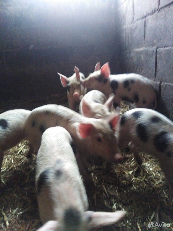 Sell pigs  89207000633 buy 3