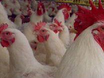 Бройлерные цыплята кобб 500