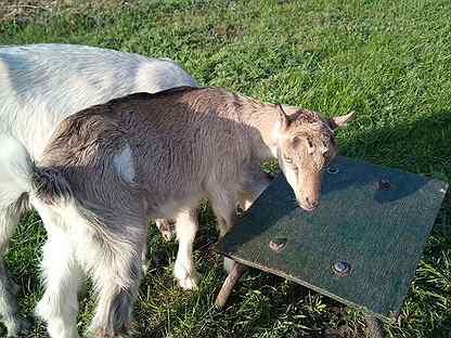 Козочка 5 месяцев и зааненская коза