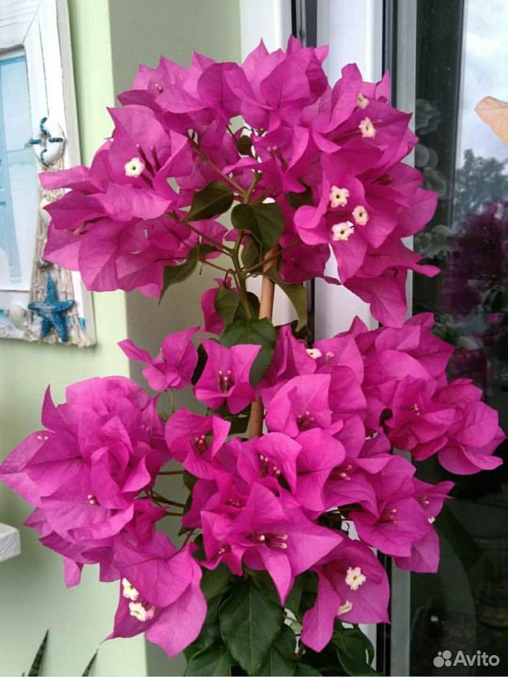 Бугенвиллия vera deep purple  89062162396 купить 1