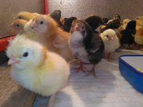Цыплята 1 месяц