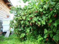 Отростки малины, с.Перевалово