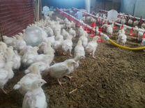 Цыплята бройлер кобб 500 возраст 3 недели