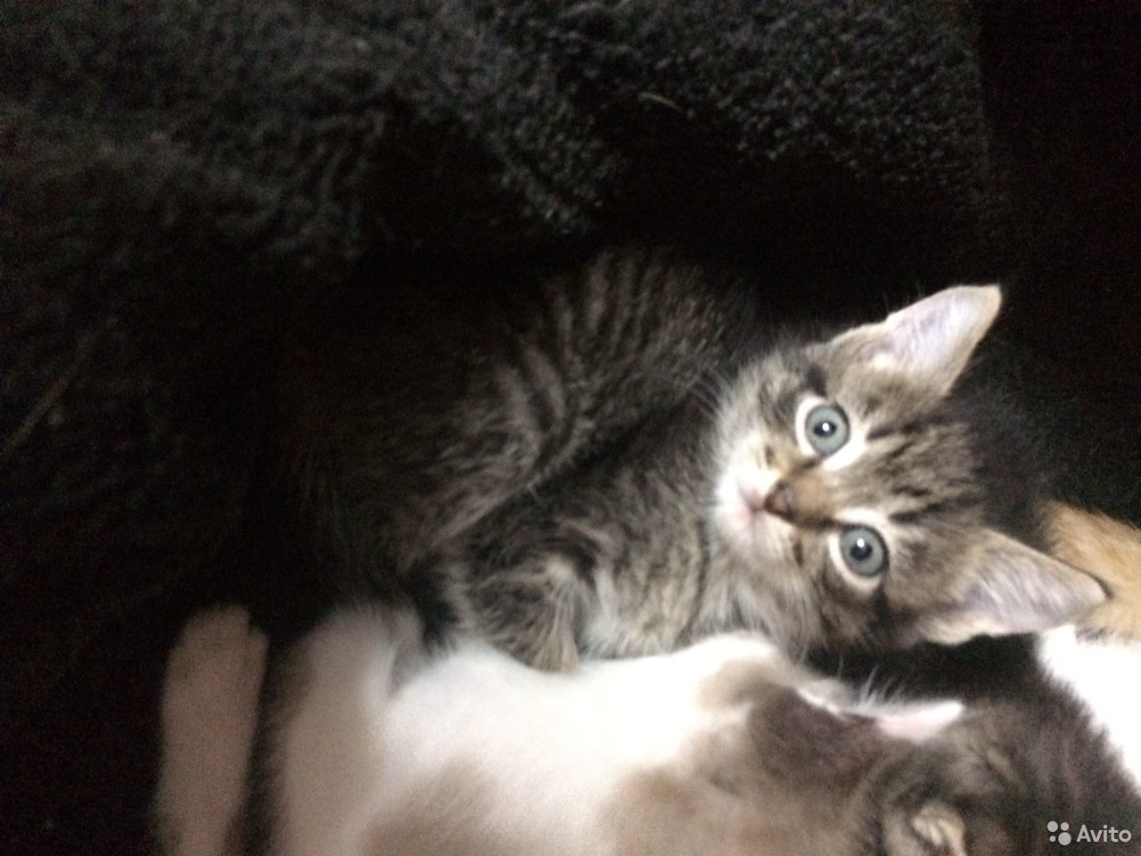 Кошка  89323141678 купить 1