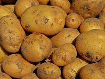 Картофель из ямы, вкусный
