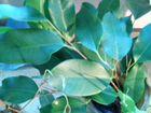 Цветы комнатные глоксиния,герань,фикус,хлорофитрум объявление продам