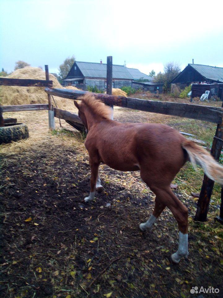 Лошадь  89048253386 купить 1