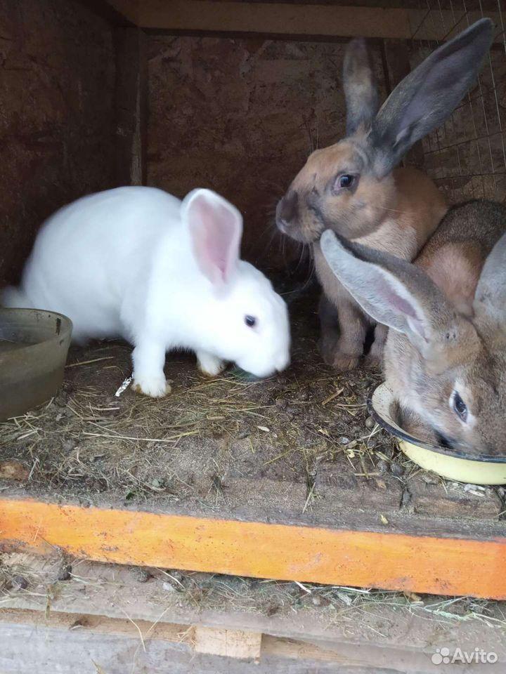 Кролик  89043585223 купить 1