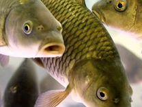 Живые раки Живая рыба