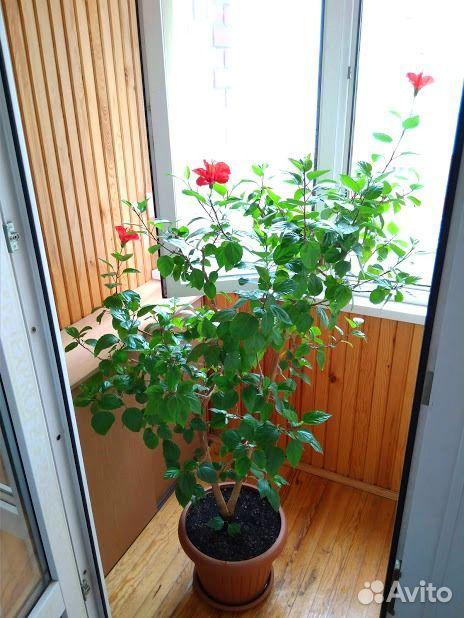 Гибискус (детки и взрослые растения)  89220007860 купить 7
