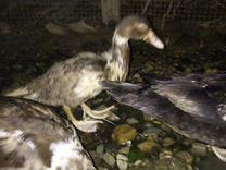 Утята индоутки — Птицы в Геленджике