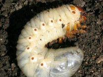 Личинка майского жука (наживка)